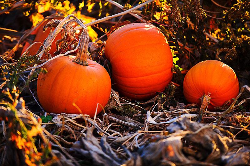 3 Fileld Pumpkins