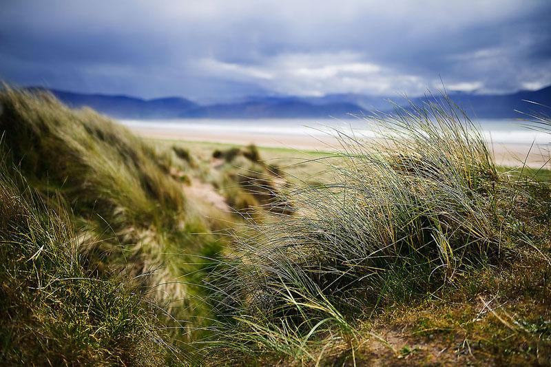 Inch Beach Grass