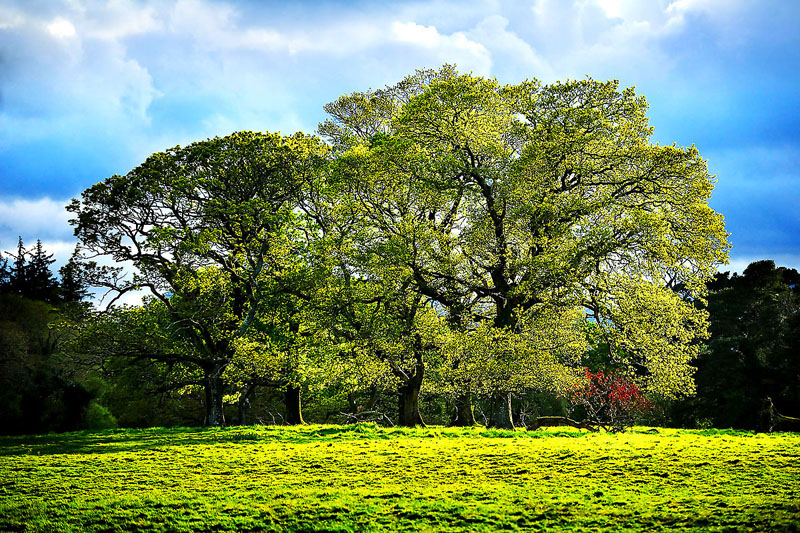 Killarney Oak