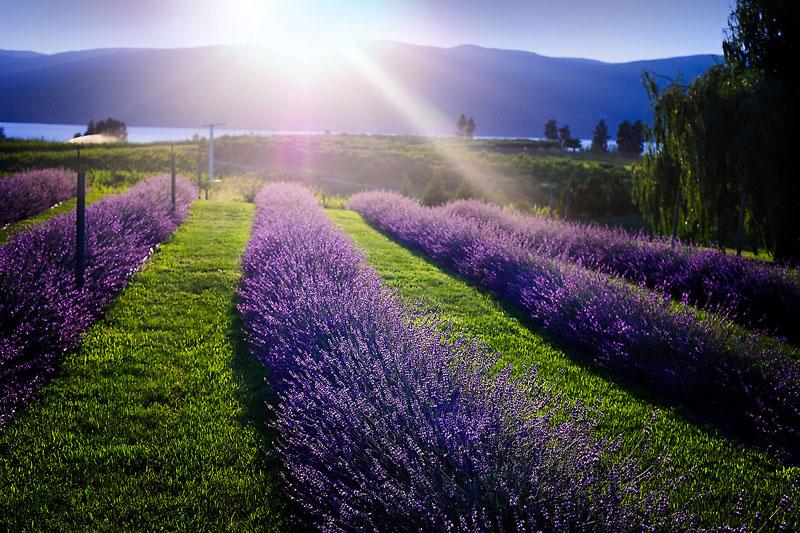 Lavender Sunlit