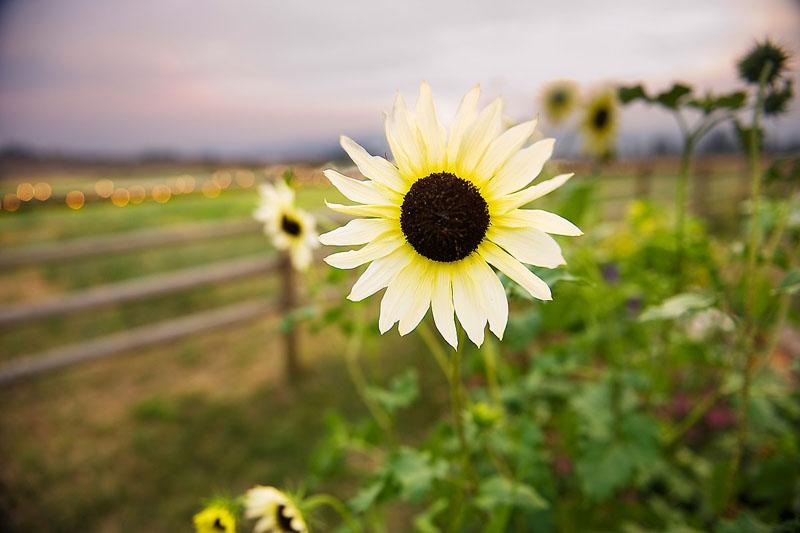 Solo Sundflower