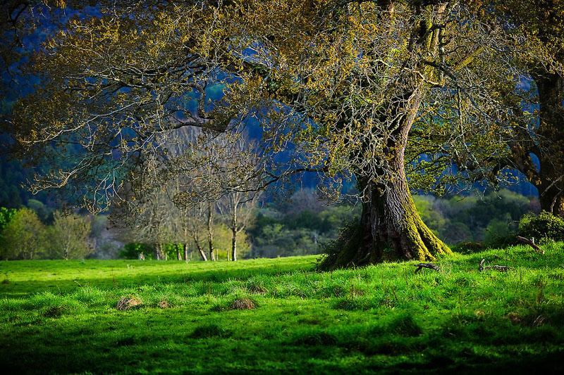 Stately Oak