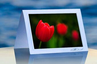 Red Solo Tulip