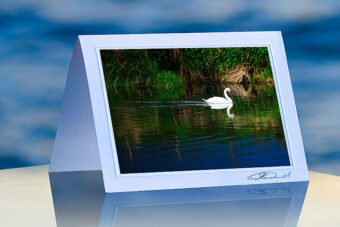 Swan Reflected_prod