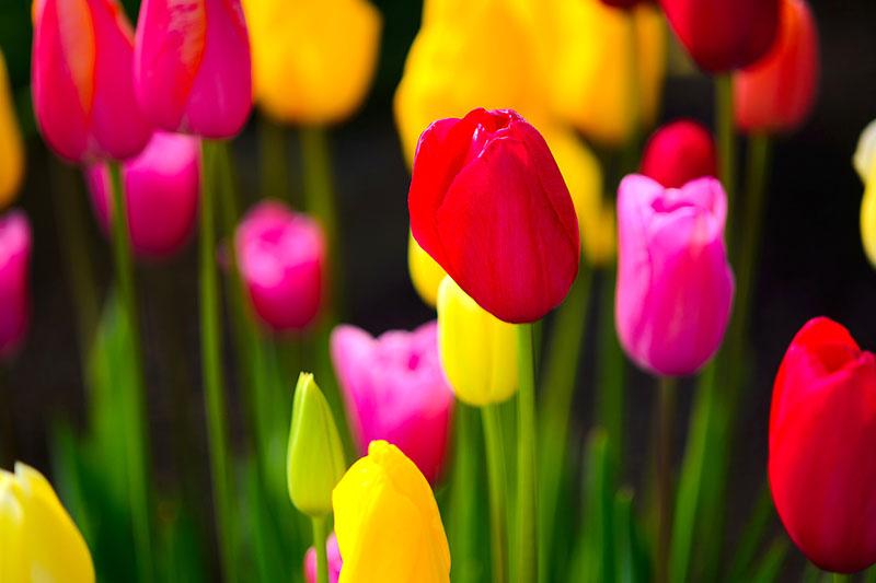 Tulip_Flourish