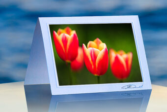 Varigated Tulips_prod