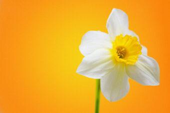 White_Daffodil