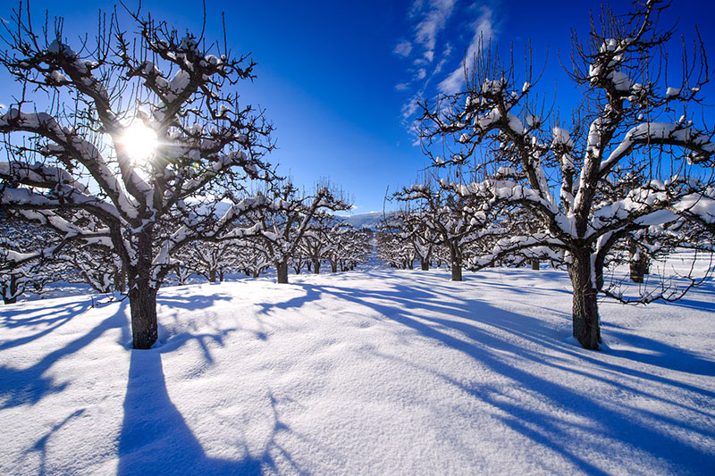Blanketed Orchard