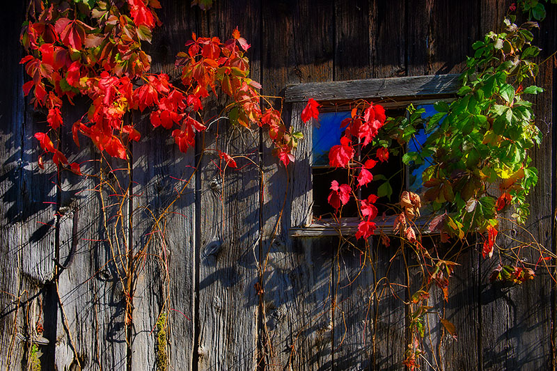 Brilliant Barn Vine